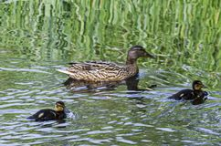 A mother mallard duck with her ducklings swimming in the lake, South park. Sofia, Bulgaria Stock Image
