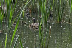 A mother mallard duck with her ducklings swimming in the lake, South park. Sofia, Bulgaria Stock Photography