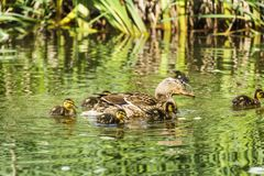 Mother Duck and her Babies. Mother mallard duck keeps her baby ducks close in the water Royalty Free Stock Images