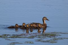 Mallard Ducklings Staying Close to Mother Duck. A mother mallard duck swimming on a pond with her ducklings Royalty Free Stock Image