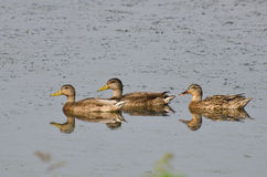 Mother Mallard Duck Swimming with Young Royalty Free Stock Photo