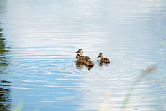 Mother mallard duck with three youngsters swimming in ditch. Mother mallard duck with three youngsters swimming in ditch in summer, Leiden, The Netherlands Stock Photography