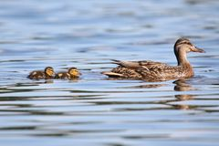 Mother Mallard Duck With Twin Ducklings. A female mallard duck Anas platyrhynchos with her newly hatched duckling family in Spring stock photography