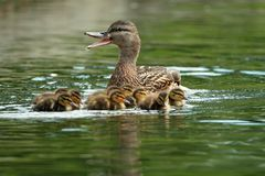 Mother mallard duck on water Royalty Free Stock Images