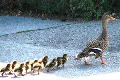 mother mallard with ducklings Royalty Free Stock Photography