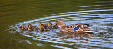 Mother mallard with ducklings. Photograph of a mother mallard duck with ducking Royalty Free Stock Photography