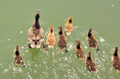 Mother mallard with ducklings. On water surface Stock Photo