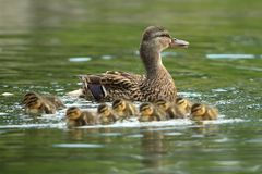 Mother mallard with ducklings on water surface Royalty Free Stock Photos