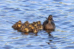 Mother Mallard and her Ducklings. A mother mallard duck swimming with her ducklings on a pond Stock Image