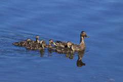 Mother Mallard and her Family. A mother mallard duck swimming with her ducklings on a pond Royalty Free Stock Image