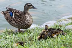 Mother mallard and her little ducklings. Mallard family & x28;mom and offspring& x29; at a Lima public park Stock Image