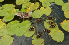 Mother duck and ducklings in the water. A mother mallard and seven ducklings are swimming in the water among the green leaves of the water lily Royalty Free Stock Photo