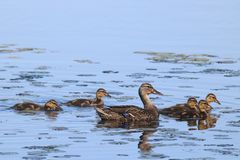 Mallard Duck Family Swim. A mother mallard swimming on a pond with her ducklings Royalty Free Stock Photography