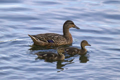 Mother Mallard with Two Ducklings. A mother mallard duck swimming on a pond with her two ducklings Royalty Free Stock Images