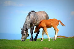 Mother mare and her colt Royalty Free Stock Images