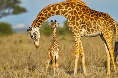 Mother Masai Giraffe Protecting Baby. A newly born Masai Giraffe calf with its Mother in Nairobi National Park, Kenya. The skyline of Nairobi is seen on the far stock photo