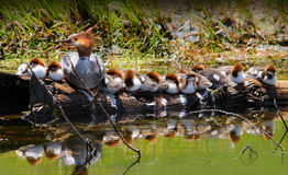 Mother Merganser with many Baby Ducklings. Female Common Merganser Duck with her fourteen Ducklings resting on a log in a creek stock photography