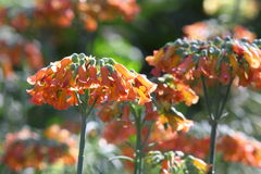 Orange Mother-of-millions flower Royalty Free Stock Images
