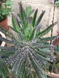Mother of Millions Stock Photography