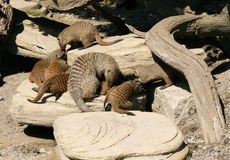 Mother mongoose with young Stock Photos