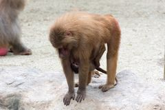 Mother Monkey baboon nursing and caring her baby Monkey. While walking Stock Images