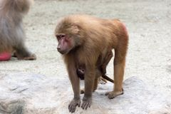 Mother Monkey baboon nursing and caring her baby Monkey. While walking Stock Photos