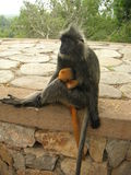Mother monkey and baby Royalty Free Stock Image