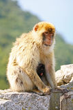 Mother monkey with baby Royalty Free Stock Photos