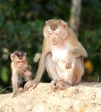 Mother monkey and baby monkey Stock Images