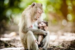 Mother monkey with a baby monkey Stock Photos