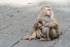 Mother monkey and baby monkey sitting. On Flooring Royalty Free Stock Photo