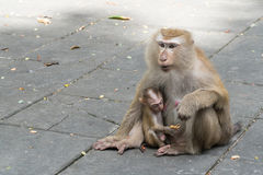 Mother monkey and baby monkey sitting. On Flooring Royalty Free Stock Photos