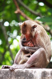 Mother monkey is breastfeeding her baby Stock Image