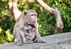 Mother monkey feeding her baby, Stock Image