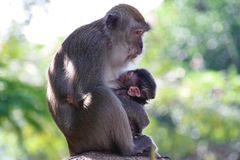 Mother Monkey feeding her monkey baby in  forest royalty free stock photography
