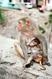 Mother monkey feeds her little cute baby animal Royalty Free Stock Photos