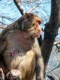 Mother monkey on the fence, India. Stock Image