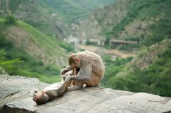 Mother monkey grooming for her baby near Galta Temple in Jaipur, India. Royalty Free Stock Images