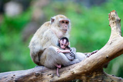 Mother monkey and her baby Royalty Free Stock Photo