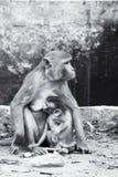 Mother monkey Stock Image