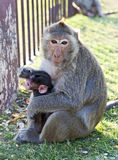 Mother Monkey Holding Baby. A mother monkey holds her young baby close at Monkey Temple in Lopburi, northern Thailand Royalty Free Stock Images