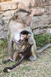 Mother Monkey Holding Nursing Baby. A baby nurses as it's mother holds it close at the base of the temple in Lopburi Stock Photography