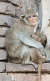 Mother monkey hug her son Stock Images