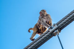 Mother monkey with a little baby monkey going on the fence of the bridge in Rishikesh, India. Stock Photography