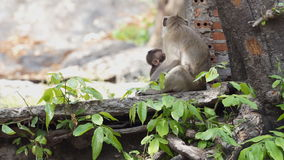 Mother Monkey stock footage