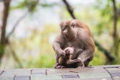 Mother monkey with monkey baby Stock Photography