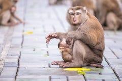 Mother monkey with monkey baby Stock Image