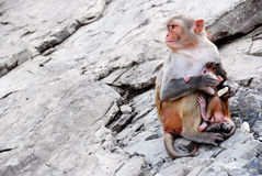 Mother monkey protects her baby Stock Photo