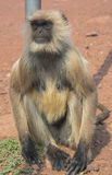 A mother monkey Royalty Free Stock Image