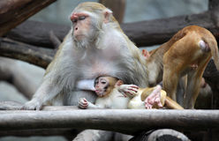 Mother Monkey and Son Royalty Free Stock Photography